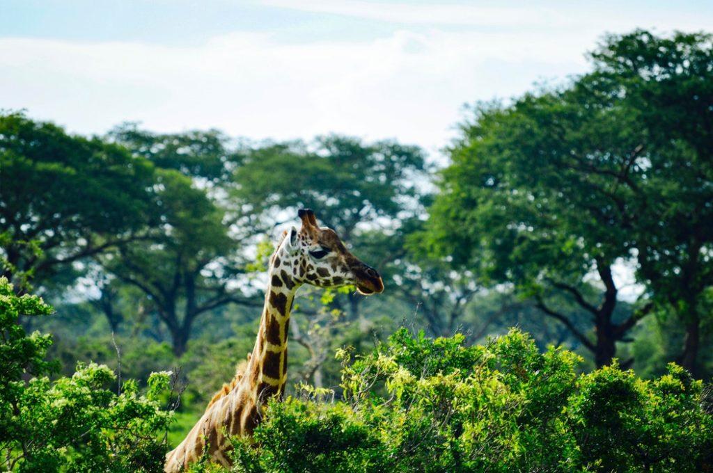 A Handy Guide To Planning A Safari Trip In Uganda