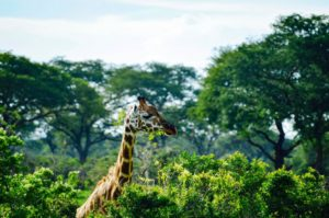 A Handy Guide To Planning A Safari Trip In Uganda